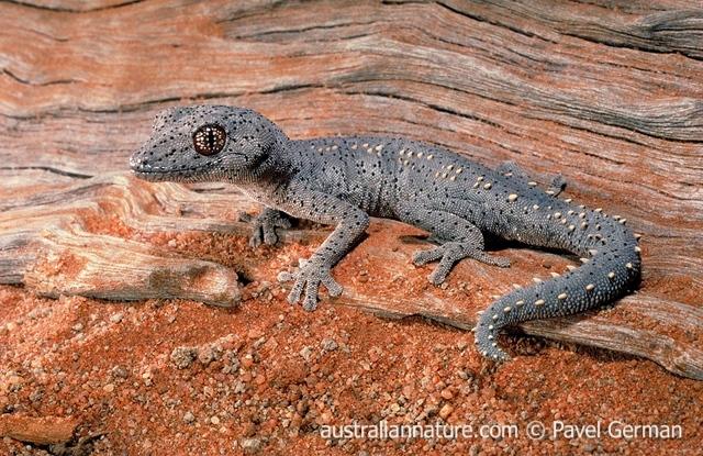 australian reptiles wildlife images