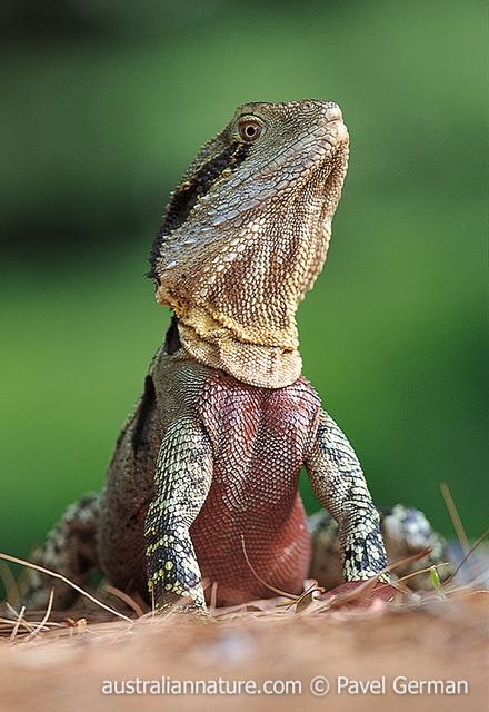 Australian Water Dragon: Australian-water-dragon « Wildlife Images