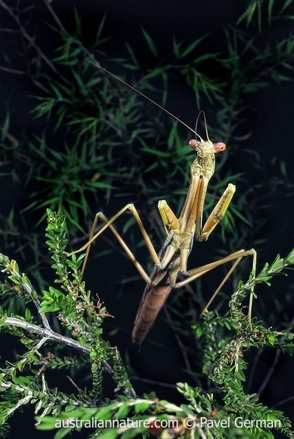 praying mantis australia