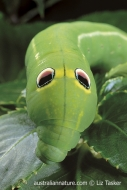 Hawkmoth Caterpillar
