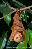 Common Tube-nosed Bat