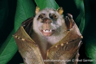 Island Tube-nosed Bat