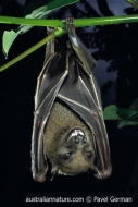 Lesser Bare-backed Fruit Bat