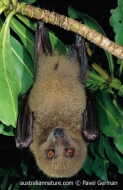 Fijian Monkey-faced Bat