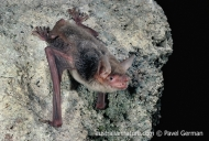 Moluccan Mouse-eared Bat