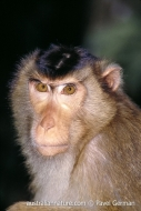 Southern Pigtail Macaque
