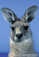 Eastern Grey Kangaroo (N/A)