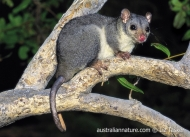 Scaly-tailed Possum