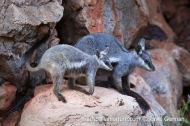 Black-flanked Rock-wallaby