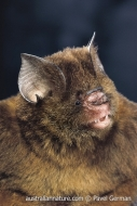 Fawn Horseshoe Bat