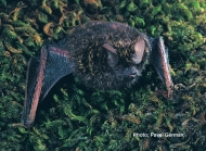 Golden-tipped Bat
