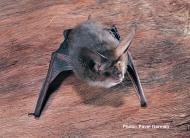 Lesser Long-eared Bat