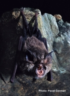 Eastern Horseshoe-bat
