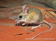 Spinifex Hopping-mouse