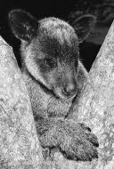 Tree Kangaroo (N/A)