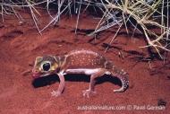 Smooth Knob-tailed Gecko