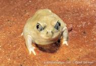 Common Spadefoot Toad