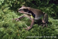 Green-thighed Frog