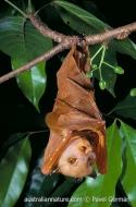 Common Tube-nosed Bat
