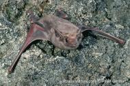 Indonesian Tomb Bat