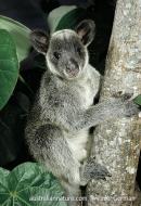 Grizzled Tree Kangaroo
