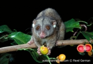 Southern Common Cuscus
