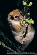 Painted Ringtail