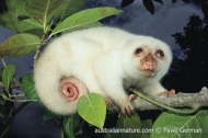 Common Spotted Cuscus