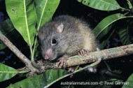 Isabel Giant-rat