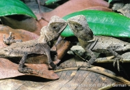 Southern Angle-headed Dragons