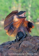 Frilled Lizard (N/A)