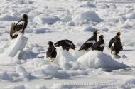 Steller's Sea-eagle
