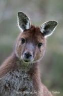 Western Grey Kangaroo