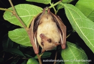 Common Blossom-bat