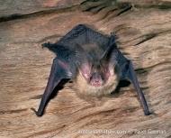 Gould's Long-eared Bat