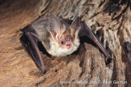 Lesser Long-eared Bat
