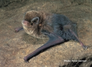 Little Bentwing Bat