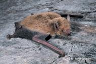 Inland Broad-nosed Bat